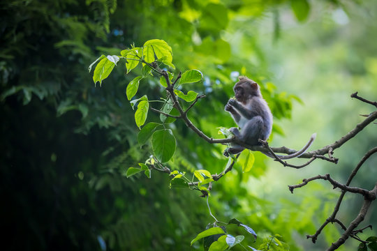 Monkey (Macaca flavicularis) in Ubud Monkey Forest, Bali.