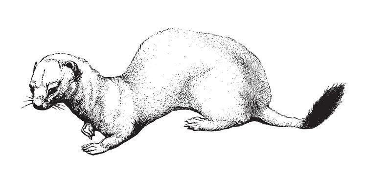 Stoat or short-tailed weasel (Mustela erminea) / vintage illustration from Brockhaus Konversations-Lexikon 1908