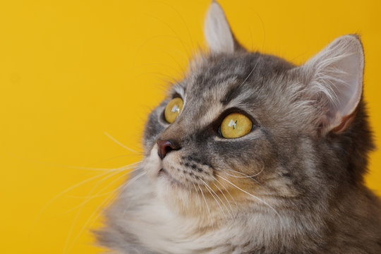 Gray fluffy playful cat with yellow eyes on a yellow background close-up,copy space.Beautiful cat.