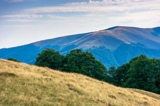 carpathian mountain landscape in summer. weathered grass on the meadow. beech forest on the edge of a hill. mount apetska in the distance. sunny august afternoon with clouds on the sky