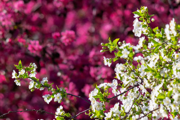 white apple blossom on a magenta background. tender flowers on the branches in spring. warm sunny weather