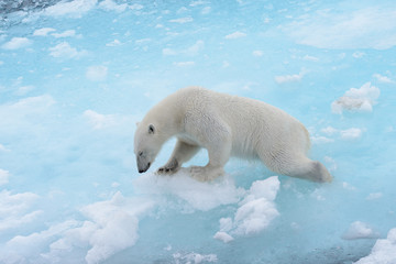 Deurstickers Ijsbeer Polar bear is sinking in water because polar ice is melting down. Save polar bears. Global warming concept.