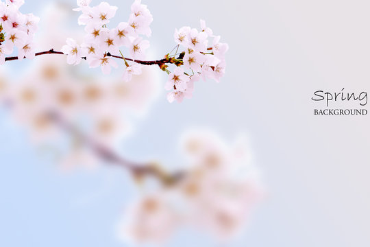 Spring scenery with cherry blossoms in pink background
