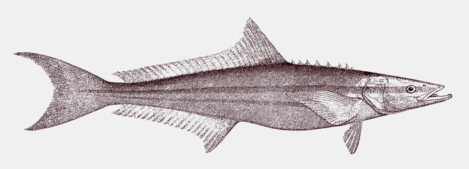 Cobia rachycentron canadum, a threatened marine fish in side view