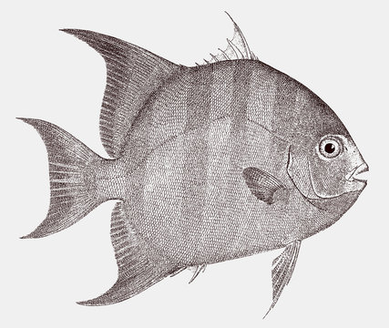 Atlantic spadefish, chaetodipterus faber, a marine fish in side view