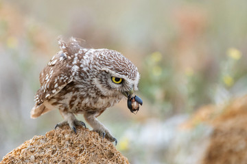 Fototapete - Little owl, Athene noctua, sitting on a rock with a beetle in its beak