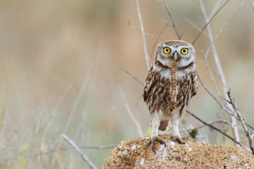 Fototapete - Little owl, Athene noctua, sitting on a rock with a scolopendra in its beak