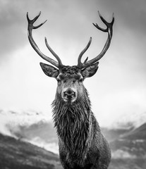 Poster Deer Monarch of the Glen