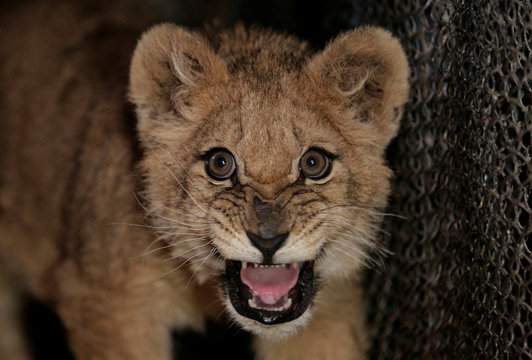 A lion cub roars inside an enclosure at a zoo in the village of Prydorozhne