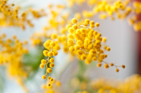 Disfocused mimosa flowers with bokeh light. 8th March Concept