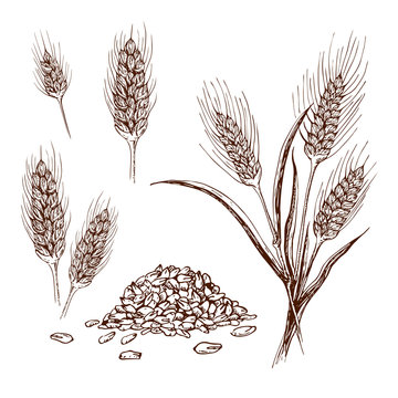 hand drawn wheat or barley isolated on white background. Wheat collection in engraved vintage style. various wheat ears, heap of grains, malt or barley spikelets realistic sketch illustration.