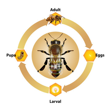 Bee Life Cycle object vector on white background.Isolated.for graphic design,education,science,agriculture and artwork.