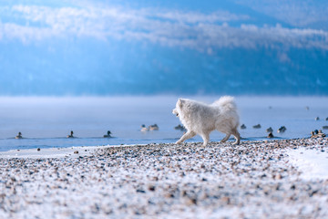 Wall Mural - A Samoyed dog on the Bank of the Siberian river hunts ducks in winter. Beautiful scenery.
