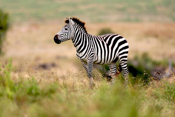 Poster Zebra Zebra on the plains in Tanzania, Africa