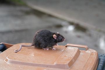 braune Wanderratte, Rattus norvegicus, sitzt auf einer Mülltonne, im Hintergrund die regennasse Straße Fototapete