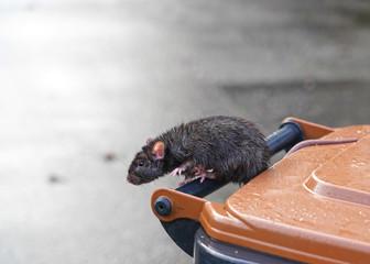 braune Ratte, Rattus norvegicus, hangelt auf dem Griff einer Mülltonne Fototapete