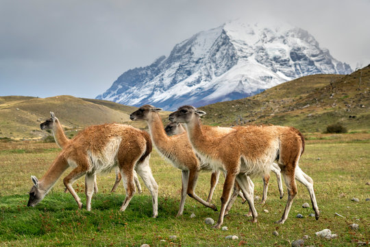 Guanaco herd in front of snowcapped mountains, Torres del Paine National Park, Magallanes Region, Patagonia, Chile