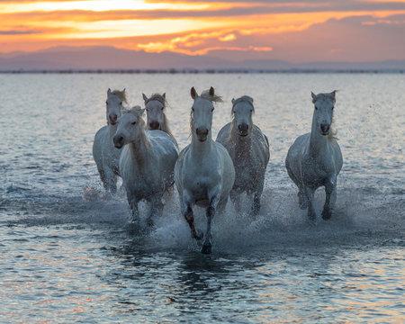 Europe, France, Provence-Alpes-C?•te d'Azur, Bouches-du-Rhone, Camargue, Saintes-Maries-de-la-Mer, white horses of the Camargue run through the marshes