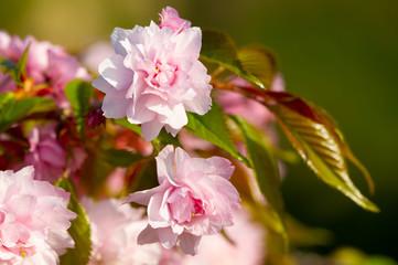 Wall Mural - Sakura flowers bloomed