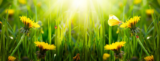 Wall Mural - Spring or summer eco background with blooming yellow dandelions flowers on fresh clean green lawn, butterfly, red ladybugs sitting on blade of grass on a sunny day, wide panoramic banner, sun rays