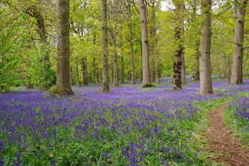 Fotobehang Bossen beautiful bluebell carpet in spring