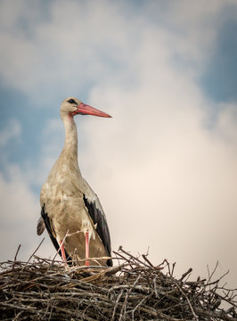White Stork - Ciconia Ciconia - Sitting In The Nest Closeup