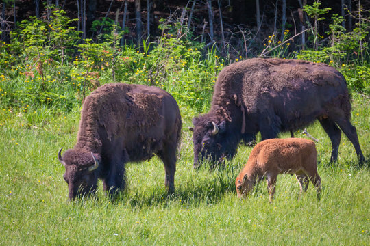 One Big Happy American Buffalo Family - Bison Bison