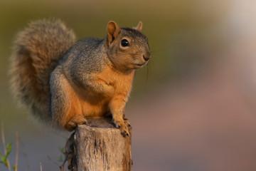 Eastern Fox squirrel eating in a backyard feeder