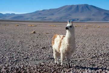 llama and mountains