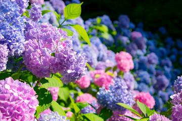 Photo sur Aluminium Hortensia 満開の紫陽花