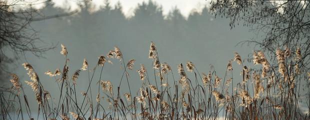 Fotorollo Dunkelgrau Schilfgras an einem Waldsee