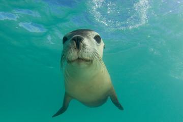 Australian Sea Lion underwater portrait photo Wall mural