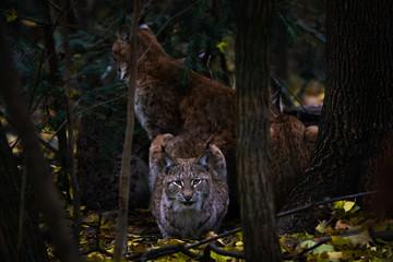 Wall Mural - European lynx in a forest