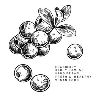 Hand drawn cranberry branch, leaf and berry. Engraved vector illustration. Cowberry, blueberry wild plant. Summer harvest, jam or marmalade vegan ingredient. Menu, package, cosmetic and food designю