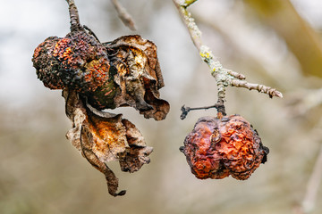 Old rotten apples and dry leaves on the tree