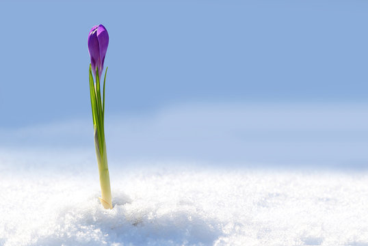 Crocus in the snow. Early spring purple flower. Warming, spring mood background.
