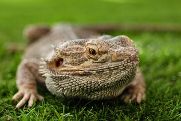 Bearded lizard (Pogona barbata) on green grass, closeup. Exotic pet