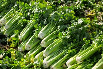 Green celery harvested on vegetable farm