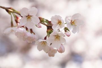 Deurstickers Kersenbloesem 桜(ソメイヨシノ)