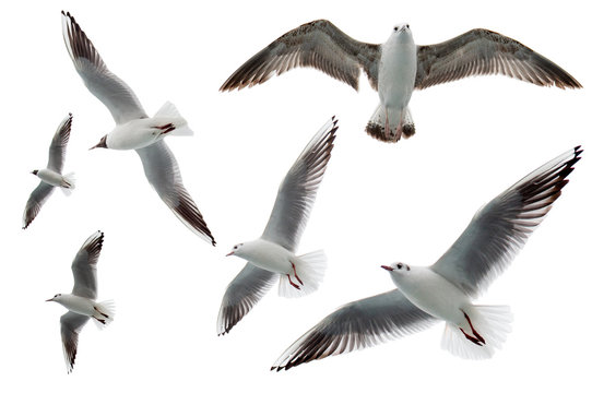 Set of seagulls flying isolated on white background. Birds collection isolated on white. Group of sea gulls