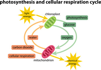 diagram of photosynthesis respiration cycle