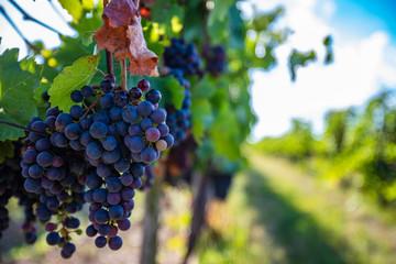 blue merlot grapes in green summer vineyard Fototapete