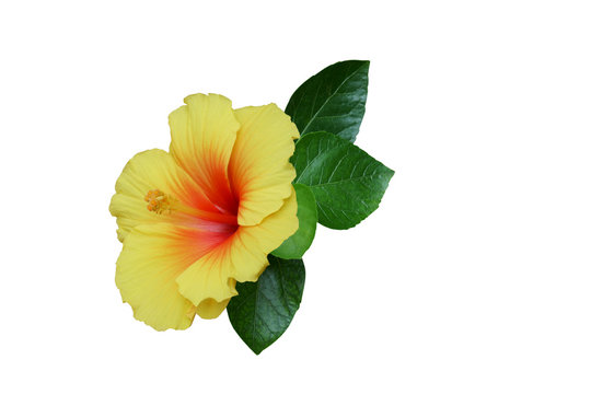 Yellow hibiscus on white background with path