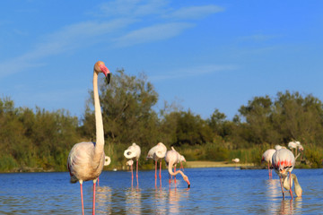 Poster - Flamingo pink on a lake in the wild with a flock