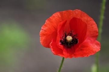 Foto op Plexiglas Klaprozen red poppy