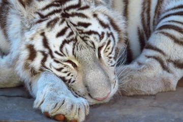 Sleeping bengal white tiger (Panthera tigris), an endangered species