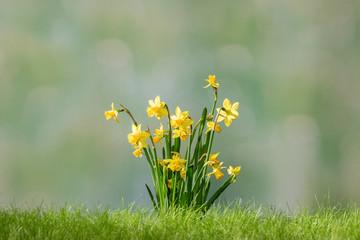 Photo sur Aluminium Narcisse Narcissus flower in spring grass on green defocused background
