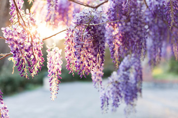 Spring flowers wisteria blooming in sunset street. Beautiful wisteria trellis blossom in garden. Japanese park.