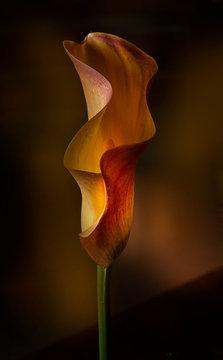 Macro Calla Lily flower