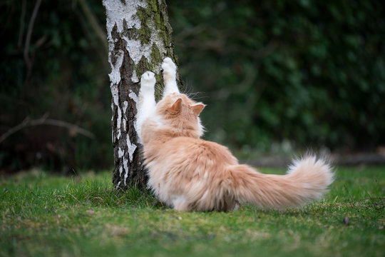 ginger white maine coon cat scratching on biirch tree stump outdoors in nature